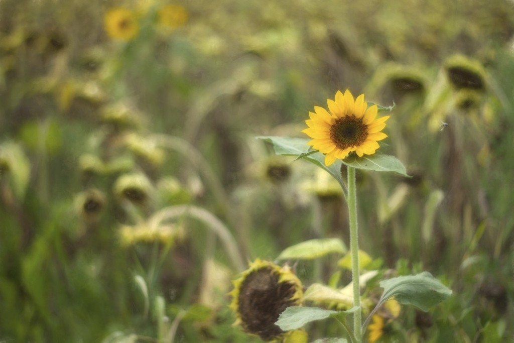 A lone healthy sunflower in a field of sunflowers well past their prime
