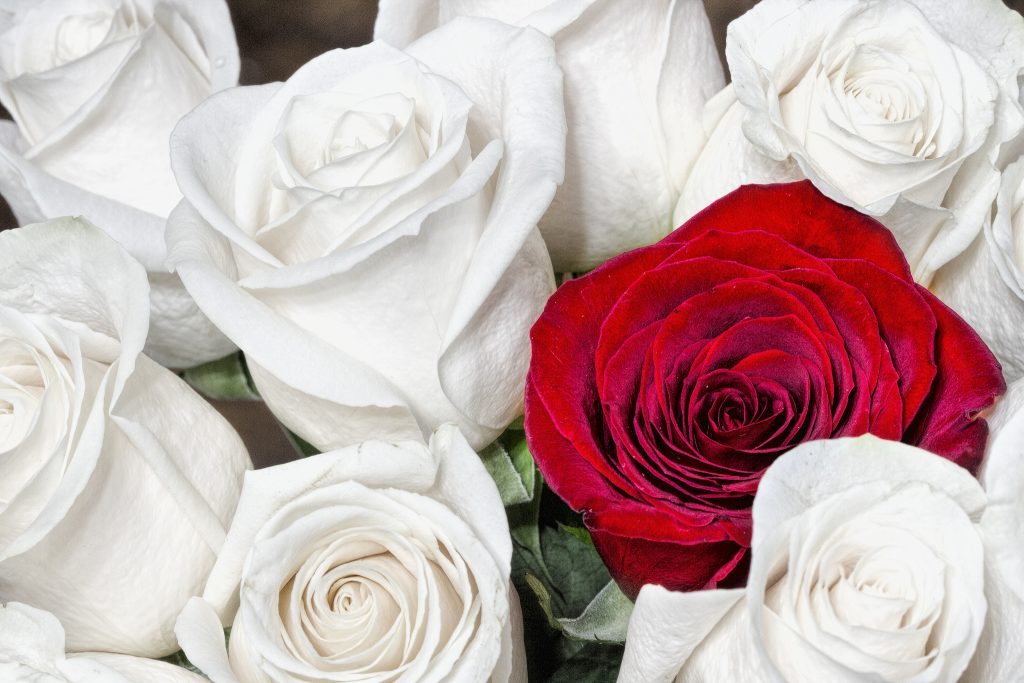 A red rose shot in a group of white roses.
