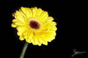 Yellow Gerbera on Black